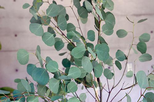 image-polyanthemos01